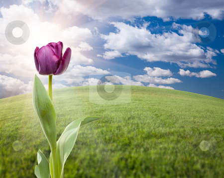 Purple Tulip Over Grass Field and Sky stock photo, Beautiful Purple Tulip Over Empty Grass Field and Sky with Clouds. by Andy Dean