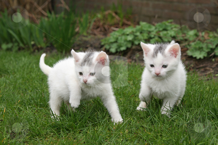 Looking for trouble stock photo, Little kittens looking for trouble by Simone Van den Berg