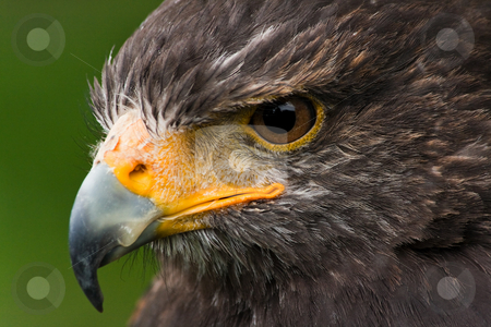 Harris hawk stock photo, Head of Harris hawk in side angle view by Colette Planken-Kooij
