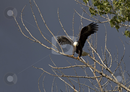 Soft Landing stock photo, An American Bald Eagle lands softly on a bare limb of a cottonwood tree along the Yakima River by Mike Dawson