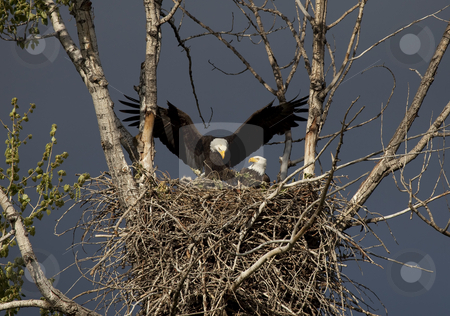 Returning Home to the Nest stock photo, An Amercian Bald Eagle returns home to the Nest along the Yakima River in Washington by Mike Dawson