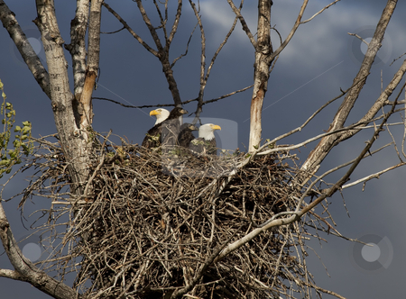 Eagle  Family stock photo, A pair of American Bald Eagles on the nest with their two young eaglets. by Mike Dawson