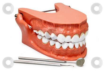 Teeth model stock photo, Plastic model of teeth isolated on white background by Birgit Reitz-Hofmann