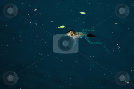 Swimming Frog stock photo, A frog is swimming in a blue pond by Richard Nelson