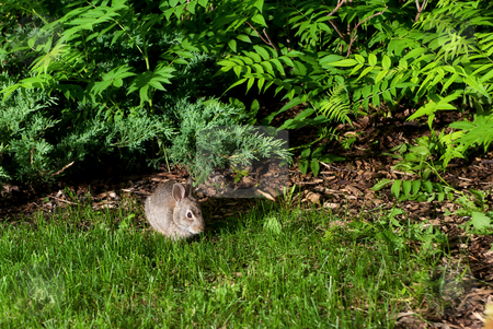 Little Rabbit stock photo, A little rabbit coming out of the bush is lit by an off camera flash by Richard Nelson