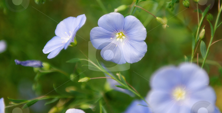 Linum Lewisii Flowers stock photo, Western Blue Flax flowers also known as Linum lewisii by Richard Nelson