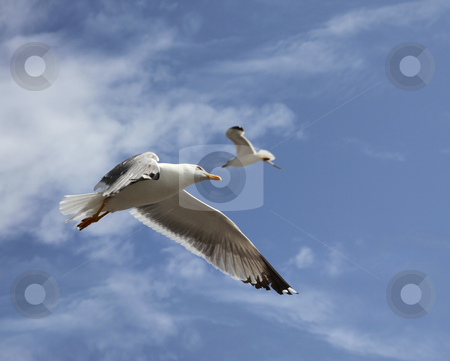 Flying herring gull stock photo, Two flying herring gull on a blue sky background by Laurent Davoust