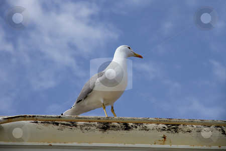 Herring gull on a boat deck stock photo, Herring gull on a boat deck by Laurent Davoust