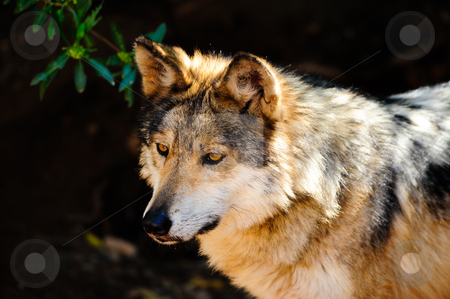 Mexican Gray wolf stock photo, Portrait of a Mexican Gray wolf in captivity by Don Fink