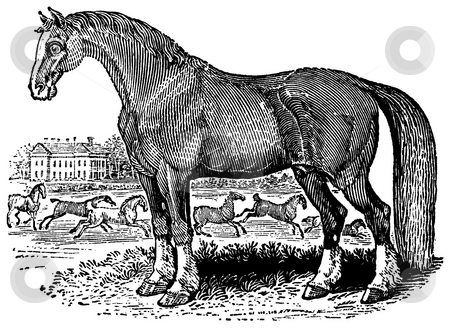 Horse stock photo, Black and white engraving of Horse isolated on white background, Artist was Thomas Bewick (1753-1828), source book,