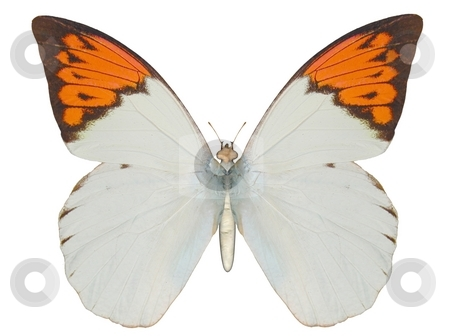 Butterfly, Great Orange Tip stock photo, Illustration of a butterfly, Great Orange Tip, ray-traced image by Oliver Lenz