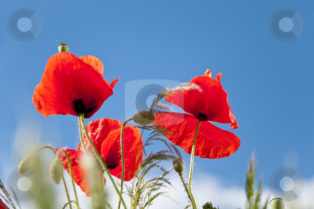 Wild Flowers stock photo, Field of poppies on a warm day in summer. by Kai Schirmer