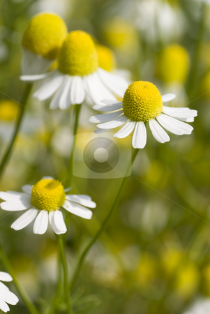 Camomile stock photo, White and fresh flower camomile on meadow by Jolanta Dabrowska