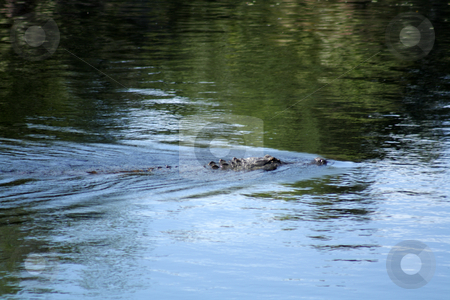 Florida Gator in the Wild stock photo, A Florida alligator, approximately six feet long, swimming in the Econlockhatchee River. by Carl Stewart