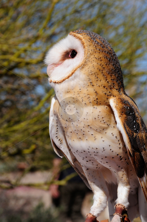 Barn owl stock photo, A barn owl looking up at the sky by Bonnie Fink