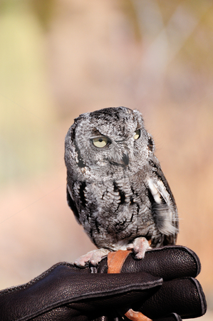 Screech Owl stock photo, A small screech owl perched on his handlers hand by Bonnie Fink