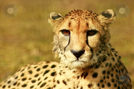 Animal stock photo, A cheetah at resting time in the sun of afrika by Jan Schering