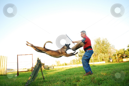Belgian shepherd attack stock photo, Purebred belgian shepherd dog jumping over an obstacle and attacking a man by Tudor Antonel adrian