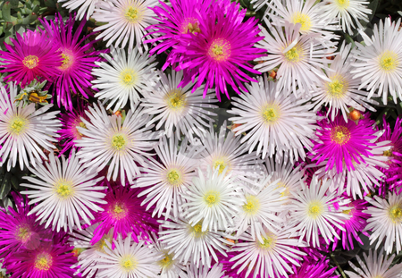 Pink and white British colorful mesembryanthemums (ice plant) flowers. stock photo, Pink and white British colorful mesembryanthemums (ice plant) flowers. by Stephen Rees