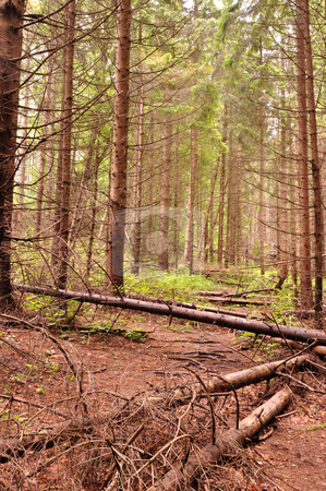Path into dense fir tree forest stock photo,  by fotosutra