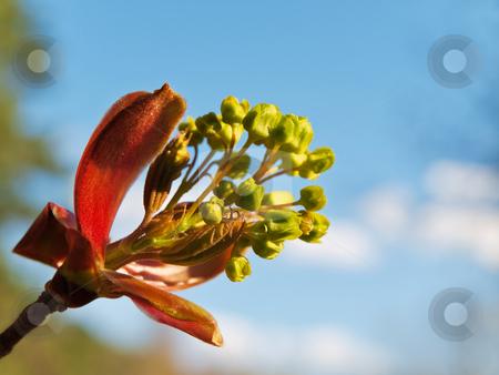 Spring is came! stock photo, Spring maple blossom against blue sky by Sergej Razvodovskij