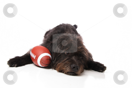 Shaggy dog with an American football stock photo, A shaggy mixed breed dog with an American football on a white background. by Britton Grasperge
