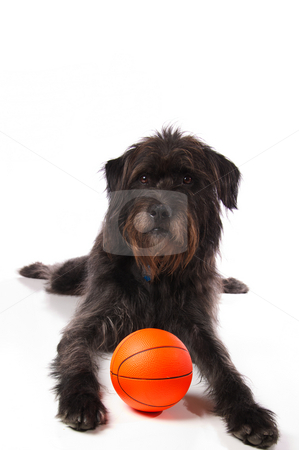 Shaggy dog with a basketball stock photo, A shaggy mixed breed dog with a basketball on a white background. by Britton Grasperge