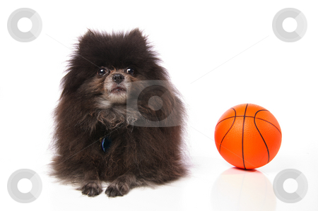 Pomeranian with a basketball stock photo, An old little pomeranian dog with a toy basketball on a white background. by Britton Grasperge