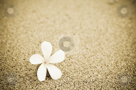 Flower on the beach stock photo, A shot of a single flower on the beach by Suprijono Suharjoto