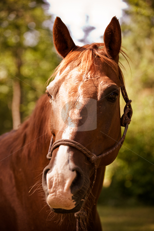 Brown horse stock photo, A portrait of a brown horse outside by Suprijono Suharjoto