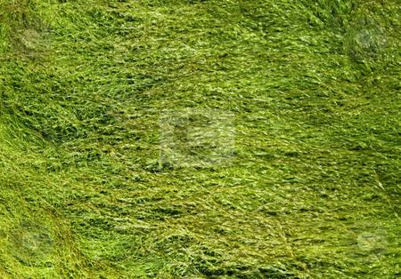 Green color seaweed close up. stock photo, Green color seaweed close up. by Stephen Rees