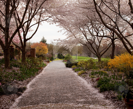 Cherry blossom petals fall on path stock photo, Spring cherry blossoms frame a path leading deep into a garden by Steven Heap