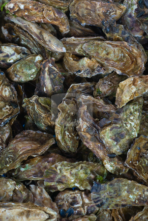 Austern (Ostreidae) - Oysters stock photo, Austern (Ostreidae) geh?ren zur Klasse der Muscheln. - Ostreidae are the true oysters, and include all species that are commonly eaten under the name oyster. by Wolfgang Heidasch