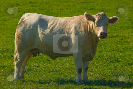 Charolais Rind - Charolais cattles stock photo, Charolais (frz. race charolaise) ist eine franz?sische Rinderrasse. - Charolais cattle are a beef breed of cattle (Bos taurus) which originated in Charolais, around Charolles, in France. by Wolfgang Heidasch