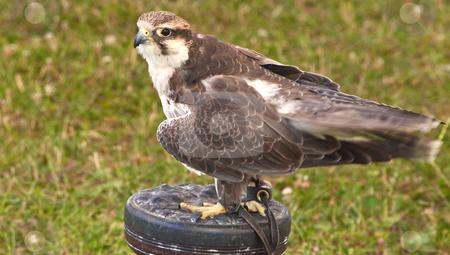 Hawk harrier - bird of prey stock photo, A closeup of a hawk harrier - bird of prey by Stephen Clarke