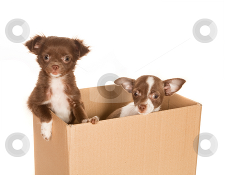 Puppy dogs in a box stock photo, Two puppy chihuahua dogs in a brown paper box by Anneke