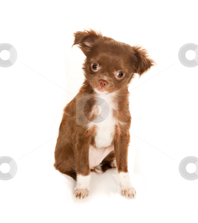 Cute chihuahua puppy stock photo, Brown longhaired Chihuahua puppy on a white background by Anneke