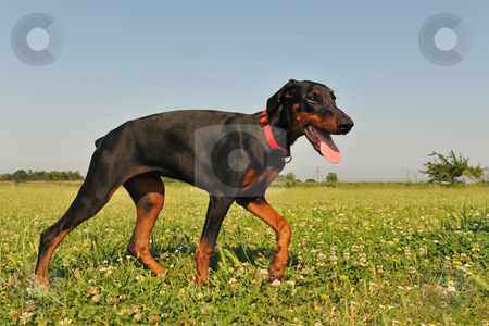 Doberman Pinscher stock photo, Portrait of a puppy purebred doberman pinscher by Bonzami Emmanuelle
