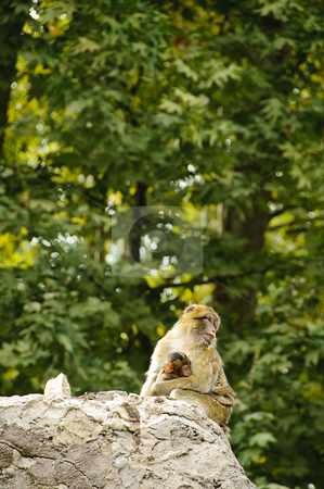 Barbary macaques mother and son stock photo, A female of barbary macaque (macaca sylvanus) on a rock holding a baby monkey by Alessandro Rizzolli