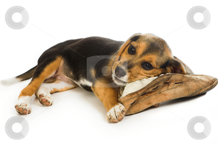 Slipper lover stock photo, Cute beagle puppy dog chewing on an old slipper by Anneke