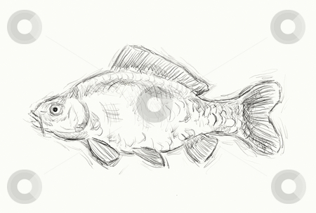 Carp stock photo, Hand painted illustration of a  carp by J?