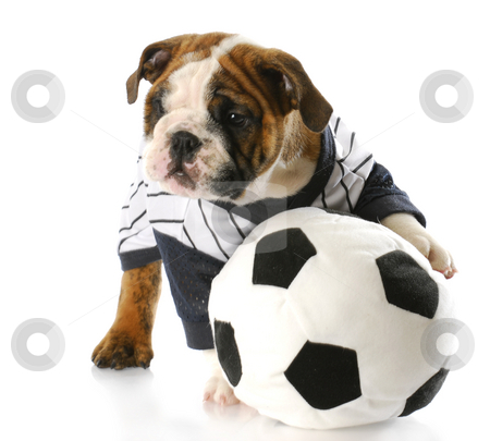 Soccer fan stock photo, Cute english bulldog puppy wearing sports jersey playing with soccer ball with reflection on white background by John McAllister
