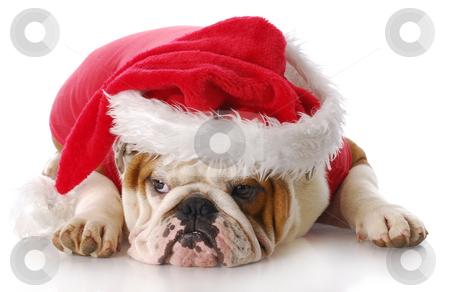 Santa dog stock photo, English bulldog with sad expression dressed up like santa claus with reflection on white background by John McAllister