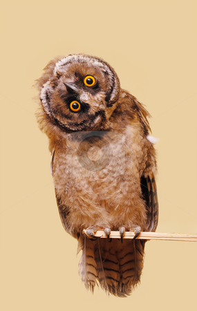 Funny owl stock photo, Young long-eared owl isolated over seamless background. by Ivan Paunovic