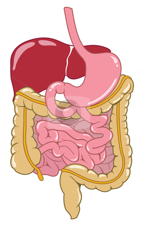 Digestive System stock vector clipart, A cartoony vector illustration of the digestive system. Great for ilustrating a point without using complex medical images. by Jonathan Vaccaro