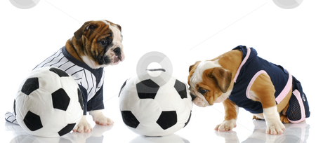 Sports hounds stock photo, Two english bulldog puppies playing soccer with reflection on white background by John McAllister