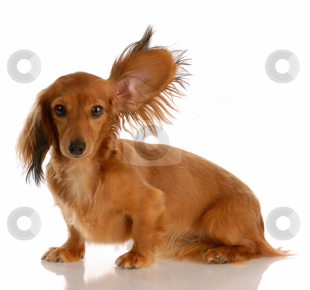 Dog listening stock photo, Long haired miniature dachshund with one ear standing up listening by John McAllister