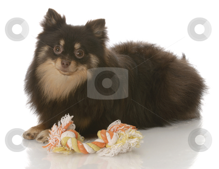 Pomeranian puppy with toy stock photo, Brown and tan pomeranian puppy laying down beside tug toy on white background by John McAllister
