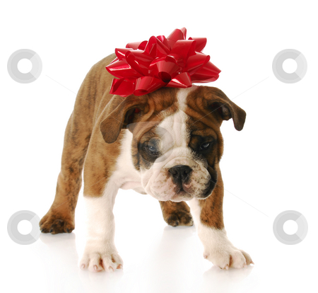Puppy for present stock photo, Adorable english bulldog with red bow on his head standing by John McAllister