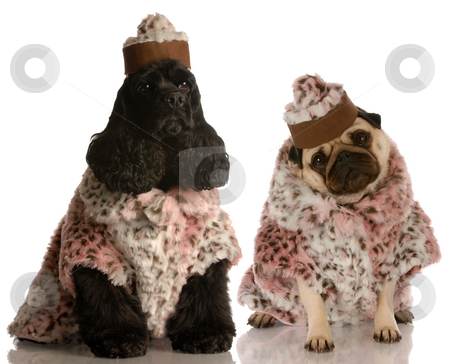 Fashionable dogs stock photo, Best friends - two dog girlfriends dressed up in fashionable clothing by John McAllister